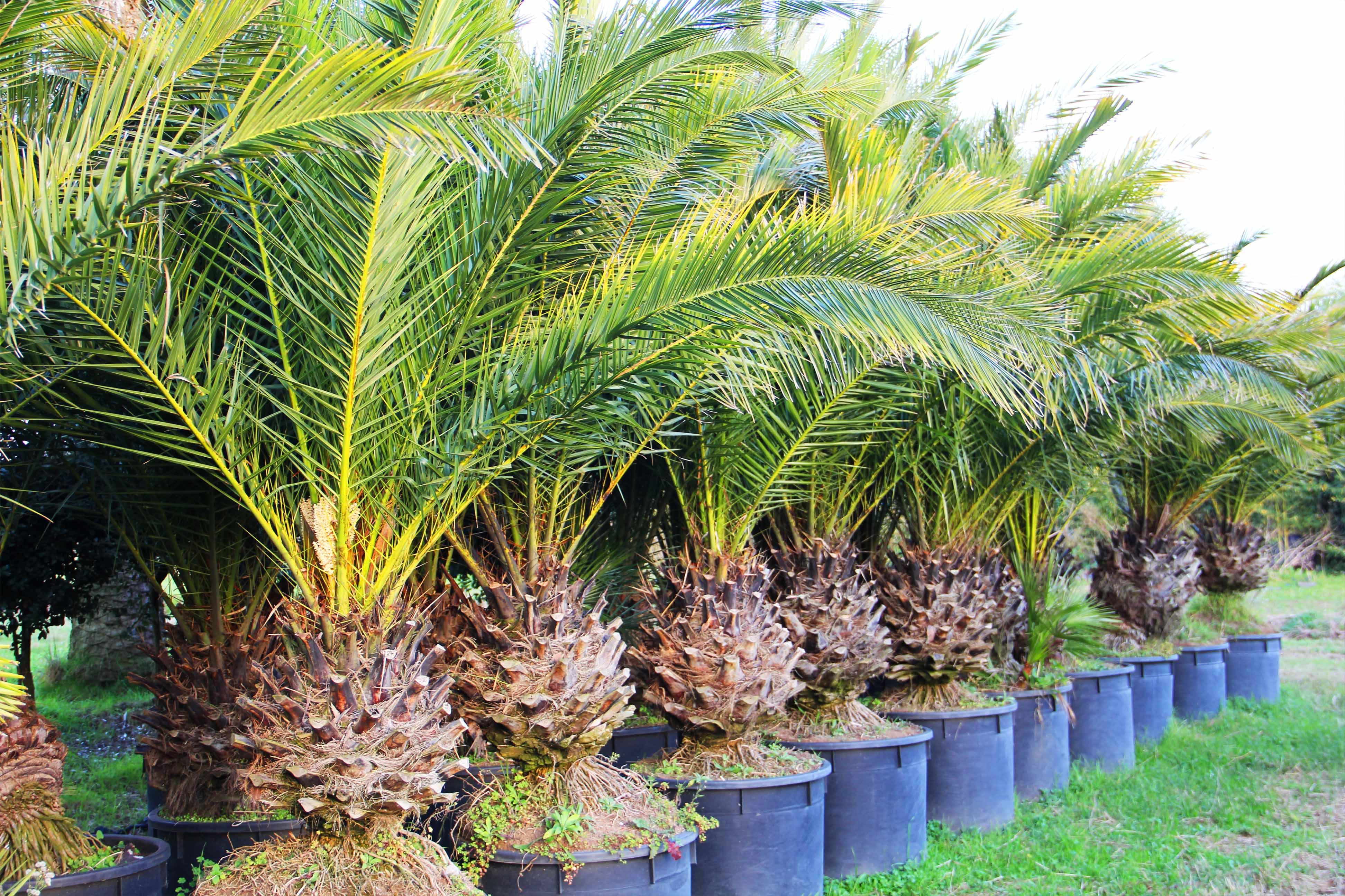 vivai in sicilia di palme
